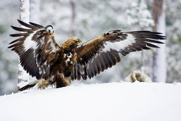 Golden Eagle Photograph - Golden Eagle With Hare by John Devries/science Photo Library