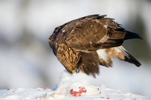 Falconiformes Photograph - Golden Eagle With Its Prey by Dr P. Marazzi/science Photo Library