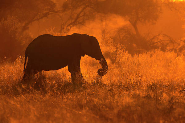 Africa Photograph - Golden Elephant In Savute by Mario Moreno