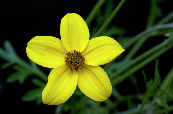 Golden Eye Photograph - Golden Eye (bidens Ferulifolia) by Bjorn Rorslett/science Photo Library