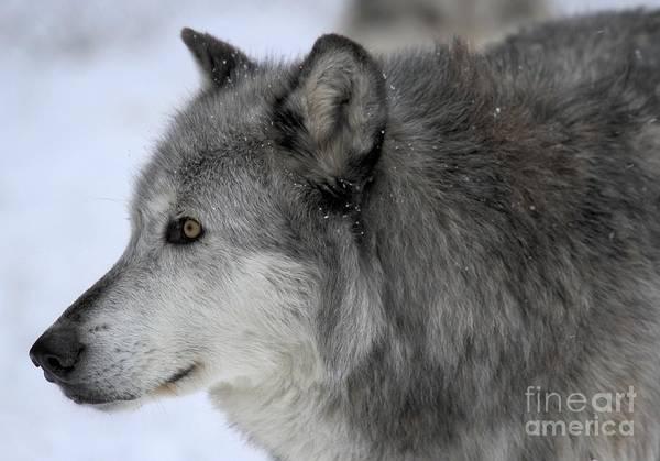 Alpha Wolf Wall Art - Photograph - Golden Eyes by Adam Jewell