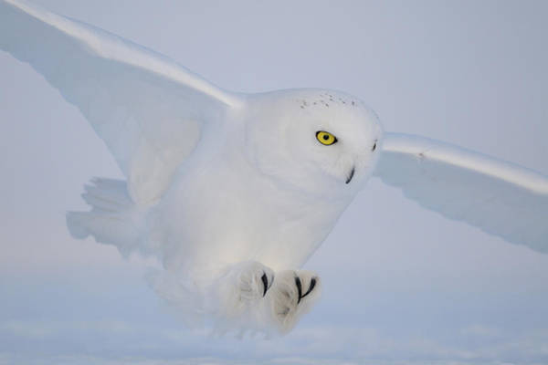 Flying Bird Photograph - Golden Eyes On The Hunt by Yves Adams