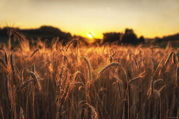 Photograph - Golden Fields by Ryan Wyckoff