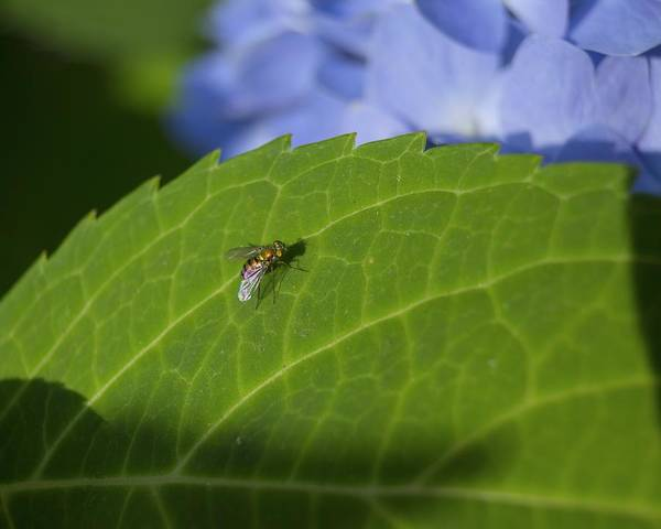 Photograph - Golden Fly Resting On A Hydrangea Leaf by MM Anderson