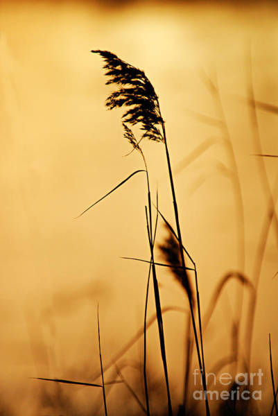 Photograph - Golden Grain Silhouette by Larry Ricker