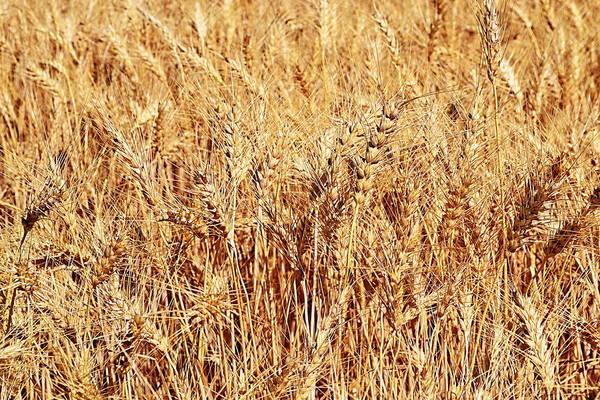 Photograph - Golden Grains by Michelle Calkins