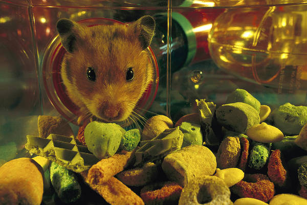 Golden Hamster Photograph - Golden Hamster In Habitrail System by Heidi & Hans-Juergen Koch
