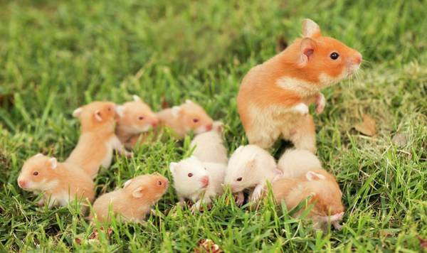 Hamster Photograph - Golden Hamster With Young by Photostock-israel
