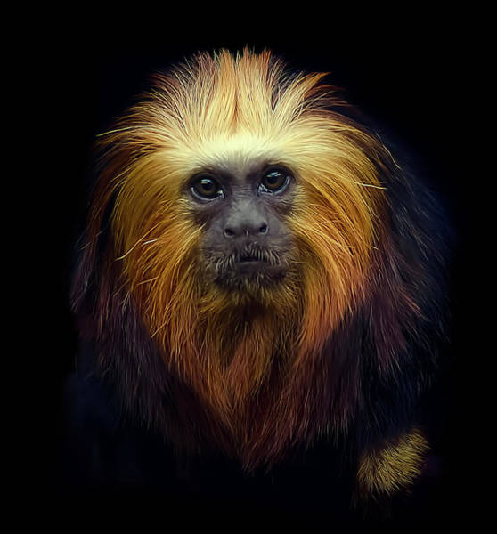 Animal Head Photograph - Golden Headed Lion Tamarin by Photo By Steve Wilson