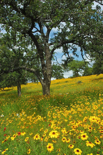 Wildflowers Wall Art - Photograph - Golden Hillside by Robert Anschutz