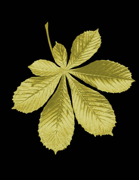 Chestnut Hill Photograph - Golden Horse-chestnut Leaf On A Black by Mike Hill