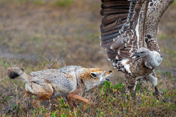 Animal Behavior Photograph - Golden Jackal Canis Aureus Fighting by Animal Images