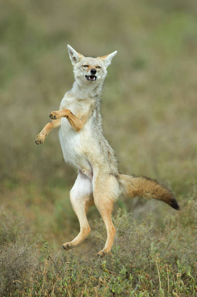 Animal Behavior Photograph - Golden Jackal Canis Aureus Leap, Ndutu by Animal Images