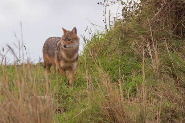 Wall Art - Photograph - Golden Jackal Canis Aureus by Photostock-israel/science Photo Library