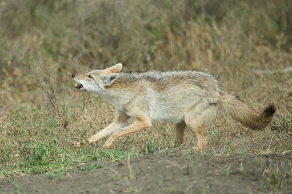 Wall Art - Photograph - Golden Jackal Canis Aureus Running by Animal Images
