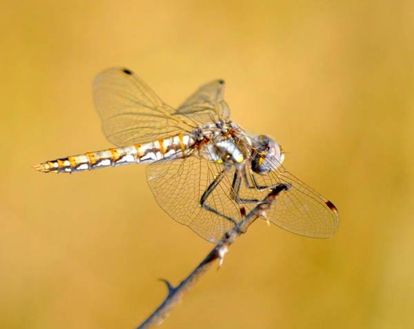 Photograph - Golden Lady by AJ  Schibig