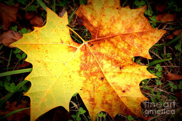 Photograph - Golden Leaf by Cynthia Mask