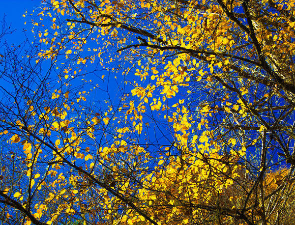 Photograph - Golden Leaves by Penny Lisowski