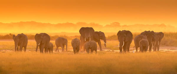 Herd Photograph - Golden Light by David Hua