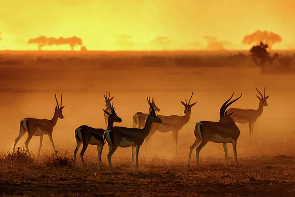 Herd Photograph - Golden Light by Mathilde Guillemot