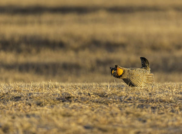 Photograph - Golden Light On The Prairie by Thomas Young
