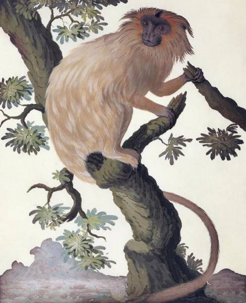 Agile Photograph - Golden Lion Tamarin by Natural History Museum, London/science Photo Library