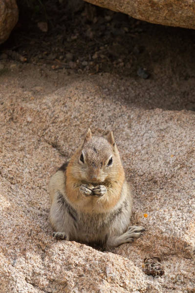 Photograph - Golden Mantle Ground Squirrel Hidden Valley Rock Mountain Nation by Fred Stearns