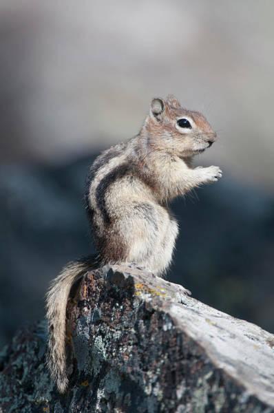 Ground Photograph - Golden-mantled Ground Squirrel by Ed Reschke