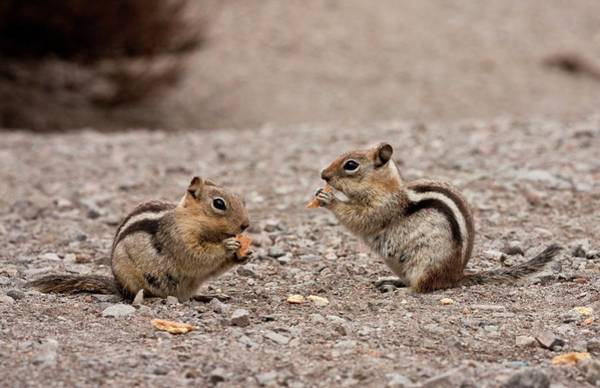 Grey Squirrel Photograph - Golden-mantled Ground Squirrels by Bob Gibbons/science Photo Library