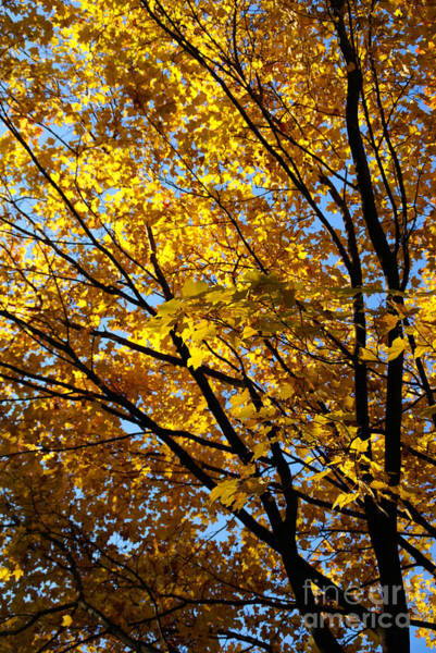 Photograph - Golden Maple 3 by Linda Shafer