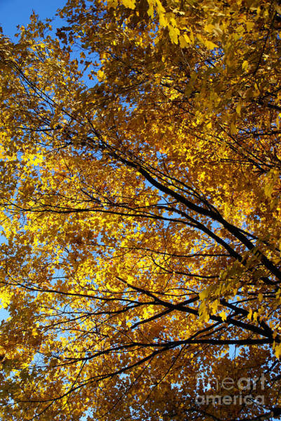 Photograph - Golden Maple 4 by Linda Shafer