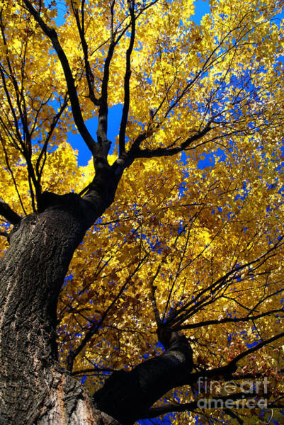 Photograph - Golden Maple 7 by Linda Shafer