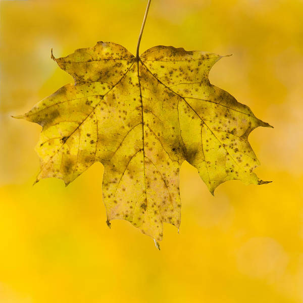 Photograph - Golden Maple Leaf by Sebastian Musial