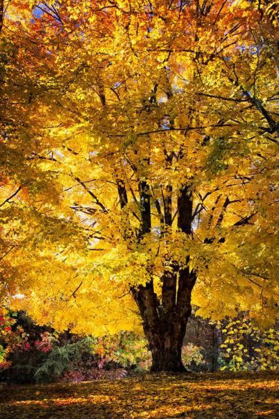 Nantahala Photograph - Golden Maples by Debra and Dave Vanderlaan