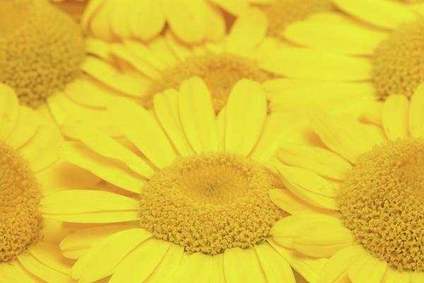 Wall Art - Photograph - Golden Marguerite (anthemis Tinctoria) by Bildagentur-online/th Foto/science Photo Library
