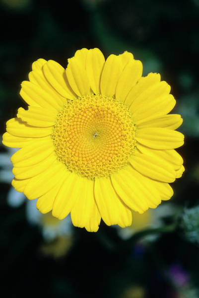 Wall Art - Photograph - Golden Marguerite (anthemis Tinctoria) by Bruno Petriglia/science Photo Library