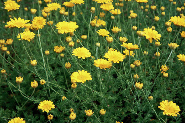 Wall Art - Photograph - Golden Marguerite (anthemis Tinctoria) by Jim D Saul/science Photo Library