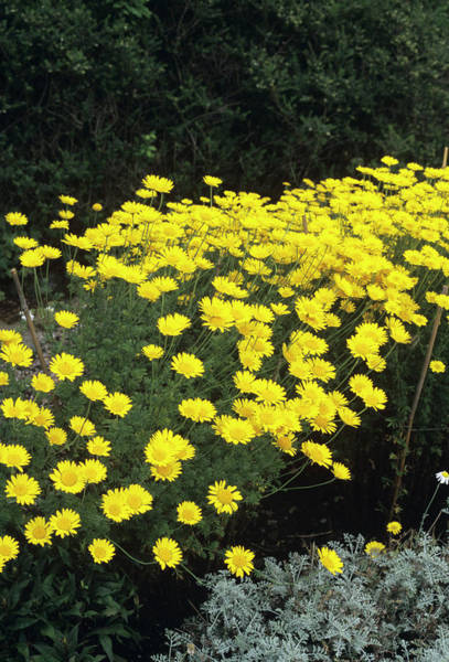 Wall Art - Photograph - Golden Marguerite Flowers by Jim D Saul/science Photo Library