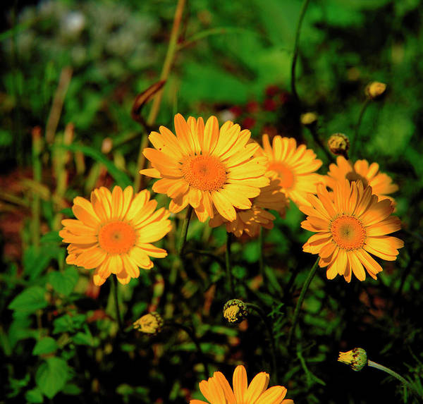 Wall Art - Photograph - Golden Marguerite by Mike Vardy/science Photo Library