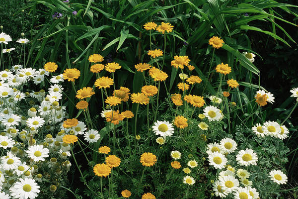 Golden Gardens Photograph - Golden Marguerite 'sancti Johannis' by Jim D Saul/science Photo Library