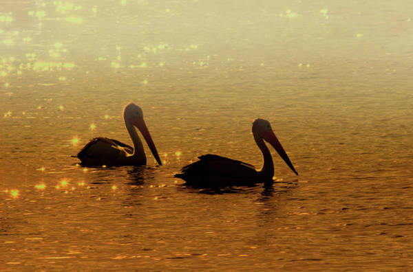 Pelicans Wall Art - Photograph - Golden Morning by Mike  Dawson