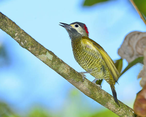 Photograph - Golden Olive Woodpecker by Tony Beck