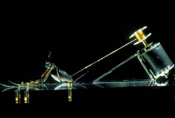 Golden Orb Spider Photograph - Golden Orb Spider Strapped Down To Produce Silk by Pascal Goetgheluck/science Photo Library