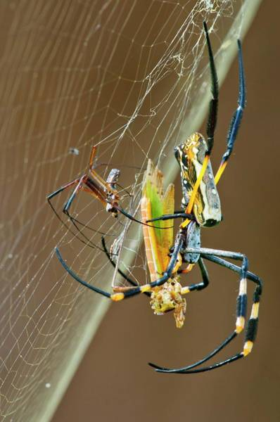 Orb Weaver Photograph - Golden Orb-weaver Spider And Prey by Peter Chadwick/science Photo Library