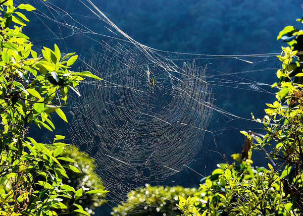 Golden Orb Spider Photograph - Golden Orb Weaver Spider On Its Web by Dutourdumonde Photography