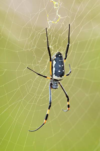 Golden Orb Spider Photograph - Golden Orb-weaver Spider by Peter Chadwick/science Photo Library