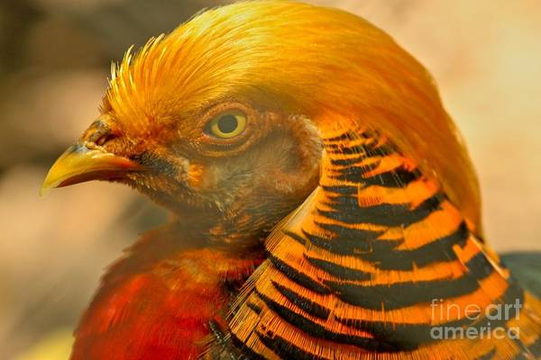 Photograph - Golden Pheasant Brilliant Colors by Adam Jewell