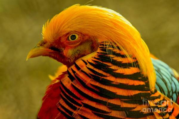 Photograph - Golden Pheasant Closeup by Adam Jewell