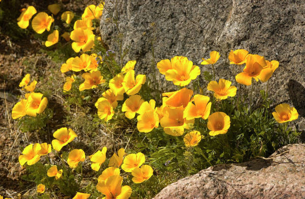 Chihuahua Photograph - Golden Poppies Among Rocks by Elflacodelnorte
