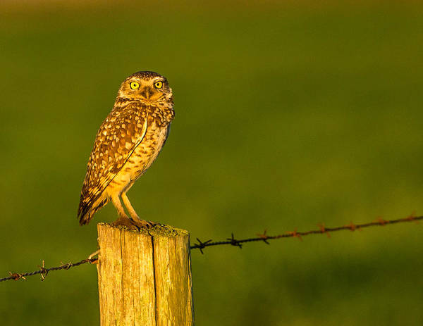 Photograph - Golden Pose  by Kevin  Dietrich